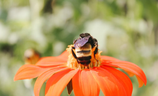 Student's bee find bodes well for Denton green spaces