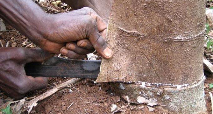 The bite of bark cloth