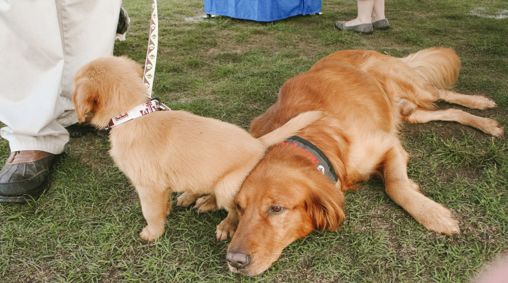 These two golden retrievers are diabetic service dogs. The older one is Ben, and the puppy is his son, Jr. Photo by Shelby Adelsen / Contributing Photographer