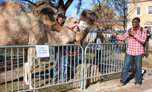 "Camels help UNT students celebrate ""Hump Day"""