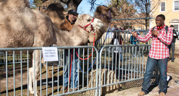 """Camels help UNT students celebrate """"Hump Day"""""""