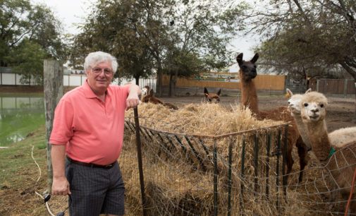 Alpacas abound at Patrick's Pastures