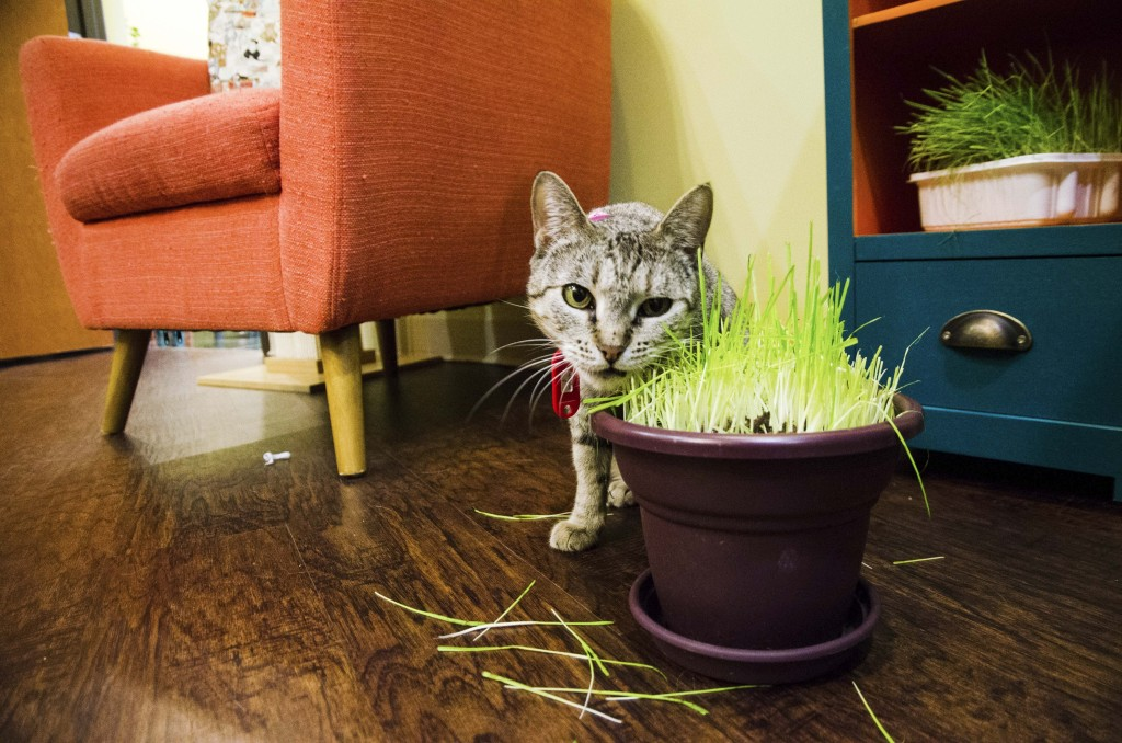 There are pots of chewing grass for the cats all around the cafe. Hannah Ridings | Senior Staff Photographer
