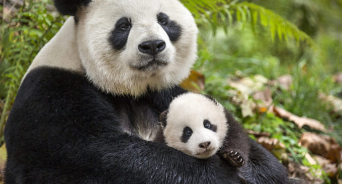 The Dose: Disney's 'Born in China' explores different animal lives