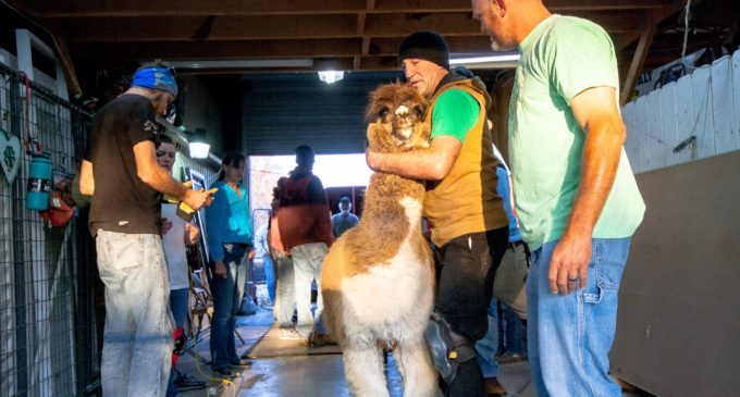 Alpaca your bags: Bed and breakfast serves unique experience