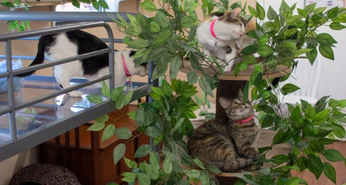 The Casual Cat Cafe pairs coffee, cats for a unique spin on a Japanese staple