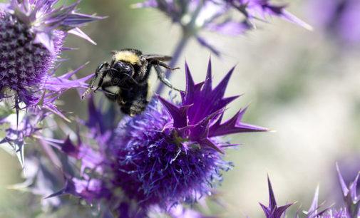 Already a 'bee-autiful' Bee City, Denton also obtains 'Monarch City' status