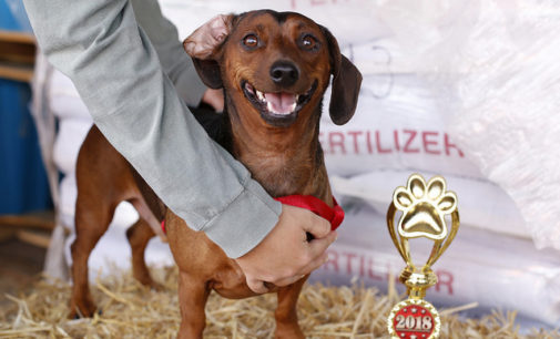 Dachshunds dominate Denton's Annual Weenie Dog Race