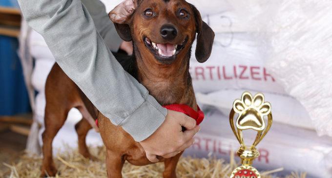 Dachshunds dominate Denton's Annual Weenie Dog Race